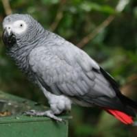 кралско жако ; папагал жако;папагал
