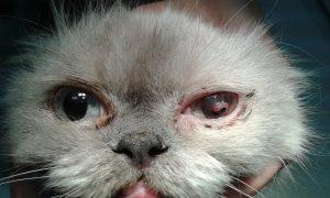 кератит,кюртаж роговица,персийска котка,очна оперция