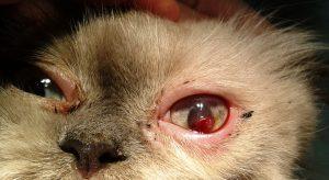 офталмолог,операция на око котка