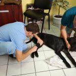 операция на куче, ветеринар хирург,