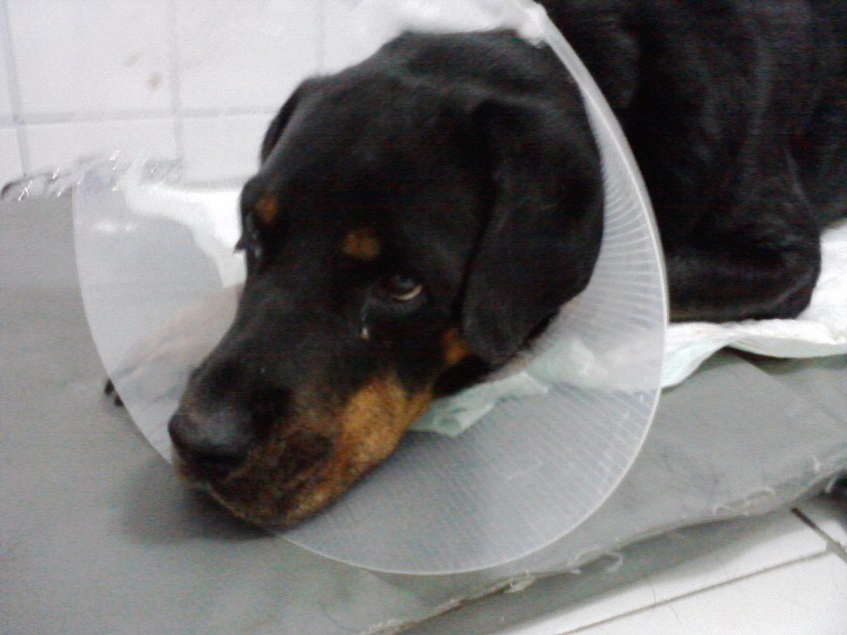 ротвайлер,яка за куче,операция куче