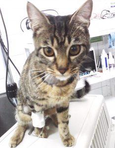 коремна операция на котка, ентеротомия котка,чуждо тяло в черво