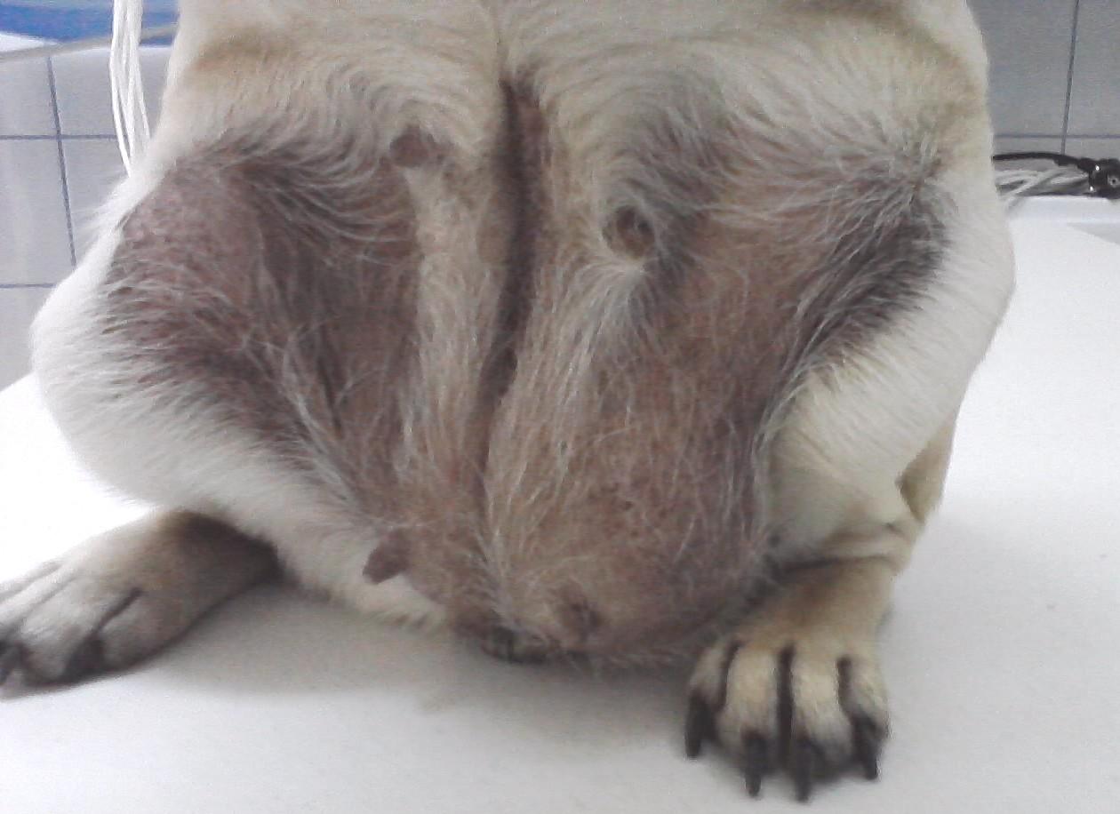 Операция от ингвинална херния при женско куче