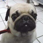 мопс хирург,операция на куче ,херния на куче