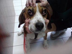 сара,очен пациент очен хирург,Beagle