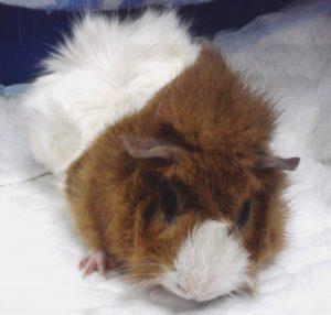 кастрация на морко свинче,операция на морско свинче