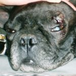 Френски булдог с масивен тумор на окото