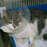 хемобартонелоза,болна котка,кръвопреливане котка
