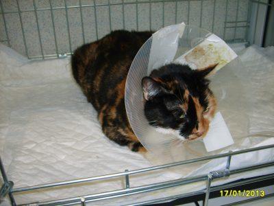 ентертомия,операция на черва котка, рак черва, операция на котка,котка стационар