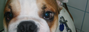 английски булдог, болести на око,очен хирург