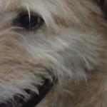 Куче болно от дирофилария