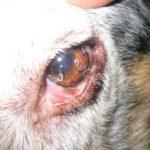 паразити в очите,телазиоза