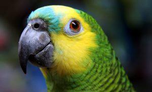 Blue fronted Amazon,Amazona aestiva