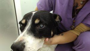 диабет при куче,очни болести при куче,сляпо куче