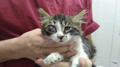 панофталмит, инфектирано око, коте с болно око
