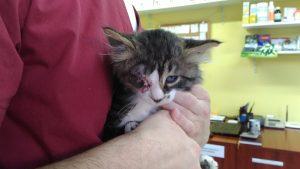 енуклеация, коте с извадено око, херпес вирусна инфекция котка