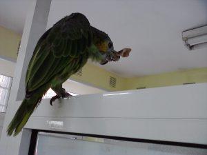 Папагал амазона