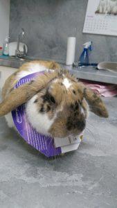 кастрация на заек