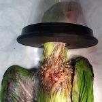 Упойка и операция на папагал