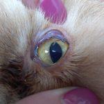 Котка с Глисти в окото