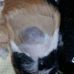 Тумор на морско свинче