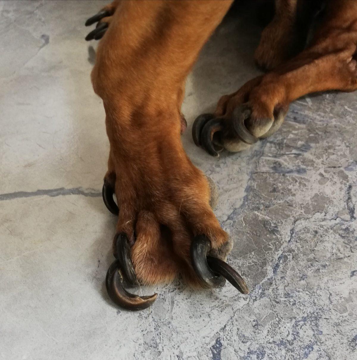 израстнали нокти куче
