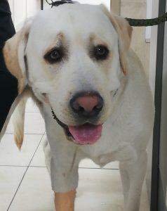 Babasiosis dog
