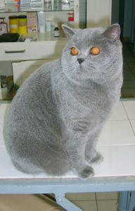 Британска късокоместа котка