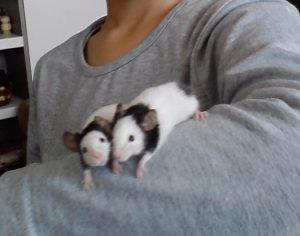 Оризови мишки -панда